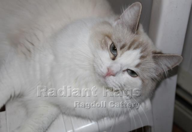 available ragdoll